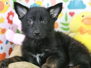 German Shepherd-DOG-Female-Black-3075070