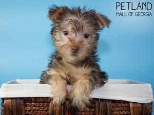 Silky-Terrier-DOG-Male-3077741
