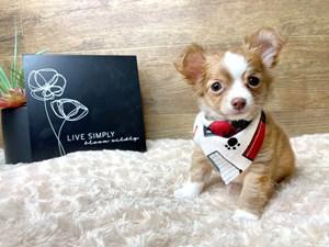 Chihuahua-DOG-Male-3078030