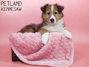 Shetland-Sheepdog-DOG-Female-3078617