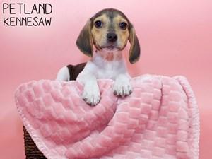 Beagle-DOG-Female-3066858