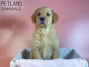 Golden-Retriever-DOG-Female-3076838