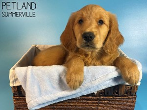 Golden-Retriever-DOG-Male-3076813