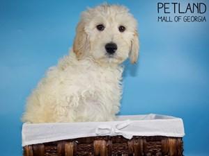 Goldendoodle-DOG-Male-3088381