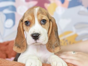 Beagle-DOG-Male-TRI-3091492