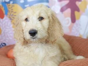 Goldendoodle-DOG-Male-Cream & White-
