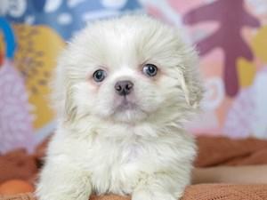 Pekingese-DOG-Male--3091224