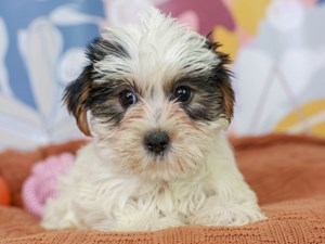 Yorkshire Terrier-DOG-Male--