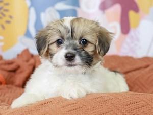 Papitese-DOG-Male--