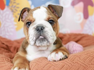 English Bulldog-DOG-Female--3091435
