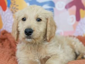 Goldendoodle-DOG-Male-Light Golden-