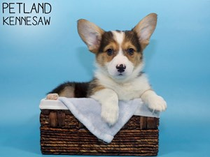 Pembroke-Welsh-Corgi-DOG-Male-3088377