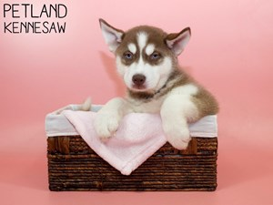 Siberian-Husky-DOG-Female-3088264