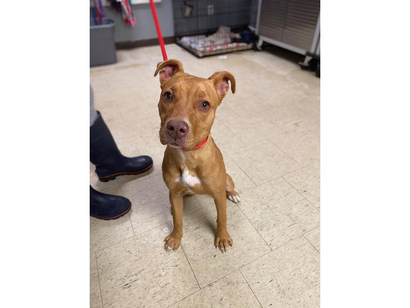 Mixed Breed-DOG-Female-Brown,White-3095693