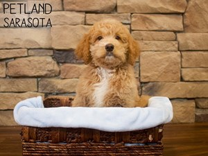 Labradoodle-DOG-Male-3087674