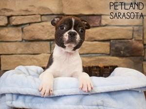 Boston-Terrier-DOG-Male-3087706