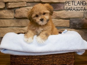 Lhasa-Apso-DOG-Male-3092113