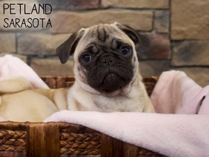 Pug-DOG-Female-3015004