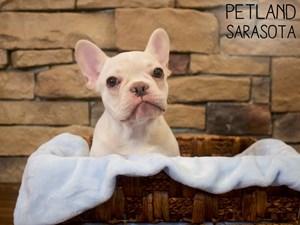 French-Bulldog-DOG-Male-3014926
