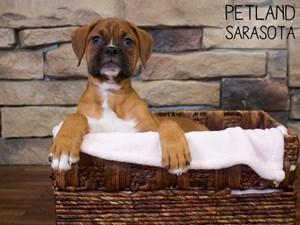Boxer-DOG-Female-3066313