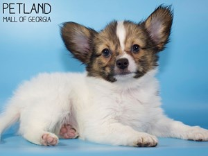 Papillon-DOG-Male-3099369