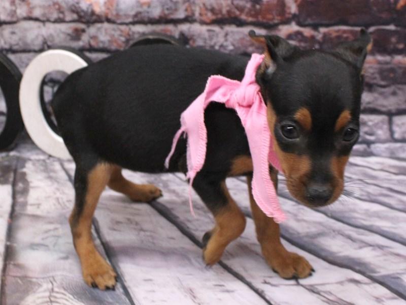 Miniature Pinscher-DOG-Female-Black & Tan-3101951