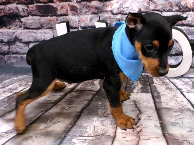 Miniature Pinscher-DOG-Male-Black & Tan-3101939