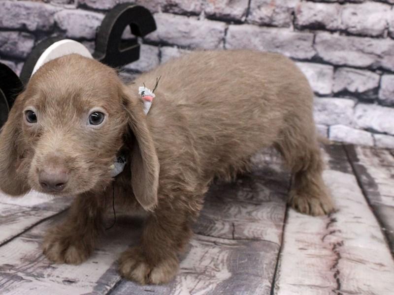 Miniature Dachshund-DOG-Male-Long Hair - Isabella Blue-3102065