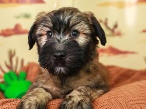Soft Coated Wheaten-DOG-Male--3102305