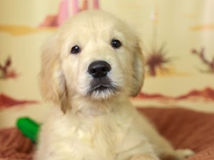 Golden Retriever-DOG-Male--