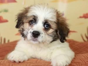 Aussieton-DOG-Female--