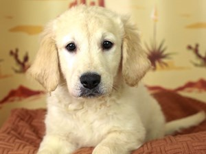 Golden Retriever-DOG-Female--