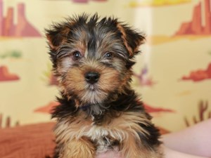 Yorkshire Terrier-DOG-Male-Black and Tan-