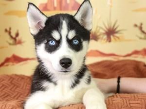 Siberian Husky-DOG-Female--