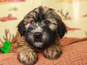 Soft Coated Wheaten-DOG-Male--3102307