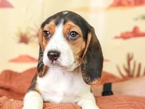 Beagle-DOG-Male-TRI-