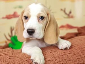 Beagle-DOG-Male--3102356