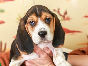 Beagle-DOG-Male--