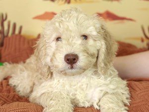 Mini Labradoodle-DOG-Male-CREAM-