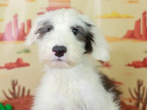 Old English Sheepdog-DOG-Male-Black and White-