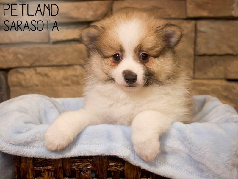 Pomeranian-DOG-Male-SABLE WH-3098945
