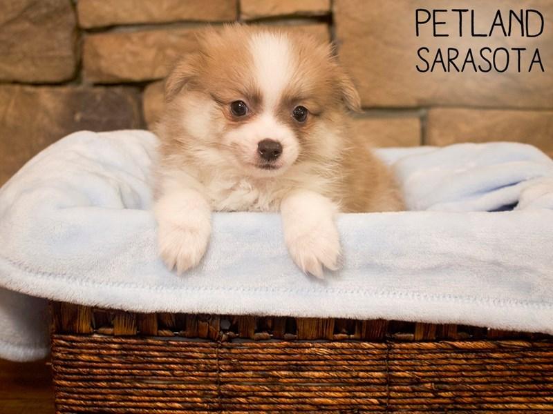 Pomeranian-DOG-Male-BLUE WH-3098944