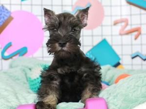 Mini Schnauzer-DOG-Male--3112633