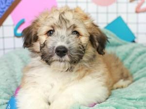 Aussieton-DOG-Male--3112878