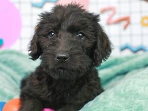 Labradoodle-DOG-Male--3112680