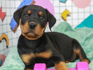 Rottweiler-DOG-Male--3113032