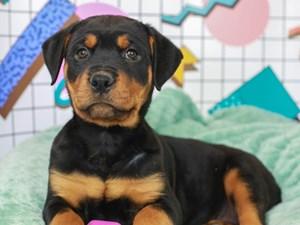 Rottweiler-DOG-Female--3113038