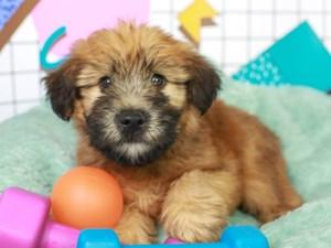 Soft Coated Wheaten-DOG-Male--3113062