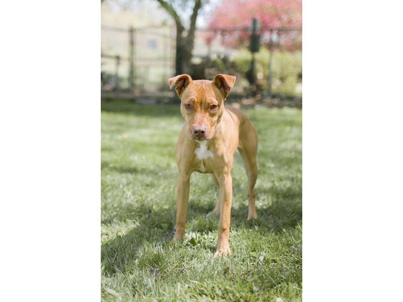 Mixed Breed-DOG-Female-Brown,White-3095693-img2