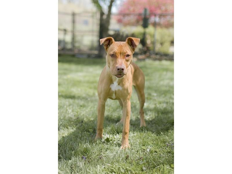 Mixed Breed-DOG-Female-Brown,White-3095693-img3